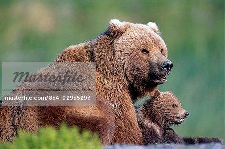 Ours brun et deux petits sur la plage de la rivière McNeil. Été dans le sud-ouest de l'Alaska.