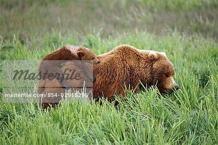 Oursons grizzlis monter au sommet de leur mère alors qu'elle se promène dans l'herbe près de la rivière McNeil. Été dans le sud-ouest de l'Alaska.
