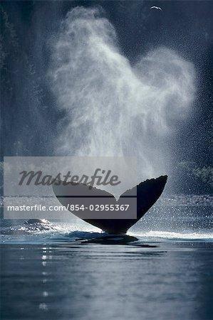 Humpback whale tail Inside passage Southeast Alaska second whale spouting