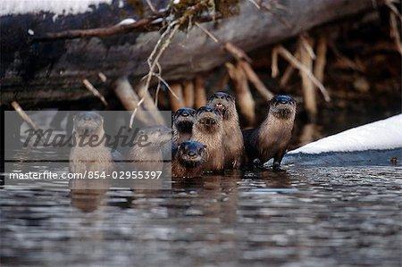 Famille de standing de loutres de rivière le long de la rive du lac Kodiak archipel du sud-ouest de l'Alaska l'été