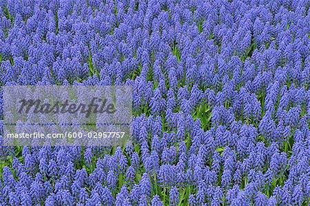 Muscari, jardins de Keukenhof, Lisse, Pays-Bas