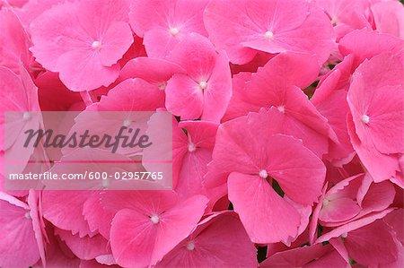 Hydrangea, Keukenhof Gardens, Lisse, Holland