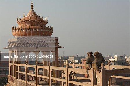 Monkeys at Hawa Mahal, Jaipur, Rajasthan, India