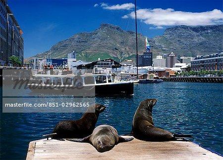 Trois phoques au repos sur la jetée comme petit bateau contourne le Albert bassin, V & A Waterfront, avec la montagne de la Table, Cape Town, Afrique du Sud.
