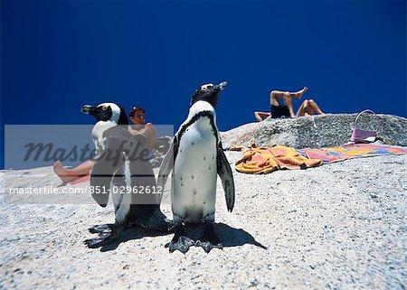 Pingouins et touristes, bains de soleil, plage de rochers, péninsule du Cap, en Afrique du Sud