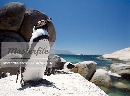 Pingouins au soleil sur des roches à Boulders Beach, péninsule du Cap, Afrique du Sud.