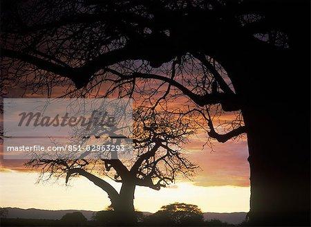 Baobabs au crépuscule dans le Parc National de Tarangire, Tanzanie.