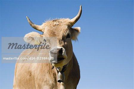 Corne de vache regardant la caméra