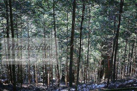 Forêt de bambous, Nikko, Japan