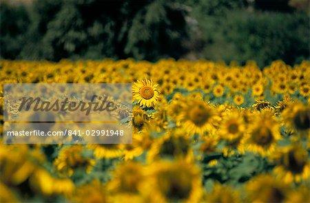 Field of sunflowers near Priene, Anatolia, Turkey, Asia Minor, Asia