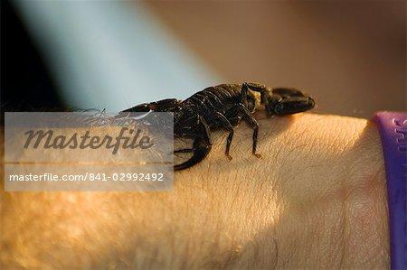 Scorpion, Monteverde Cloud Forest National Park, Monteverde, Costa Rica, Central America