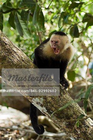 Capucins ou blanc face de singe, réserve naturelle de Manuel Antonio, Manuel Antonio, Costa Rica, Amérique centrale