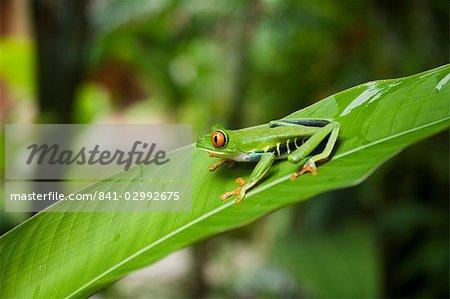 Red eyed Rainette, Parc National de Tortuguero, Costa Rica, l'Amérique centrale