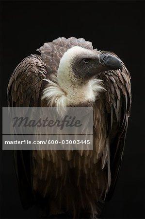 Gros plan du vautour africain