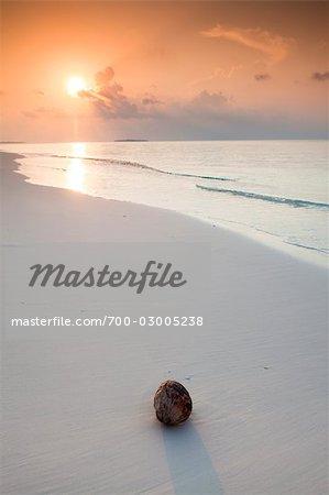 Coconut on the Beach, Meedhupparu Island, Northern Maalhosmadulu Atoll, Maldives
