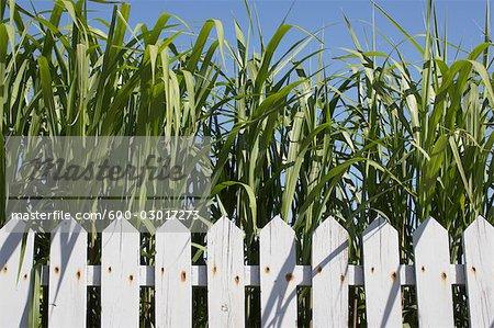 White Fence and Cornstalks