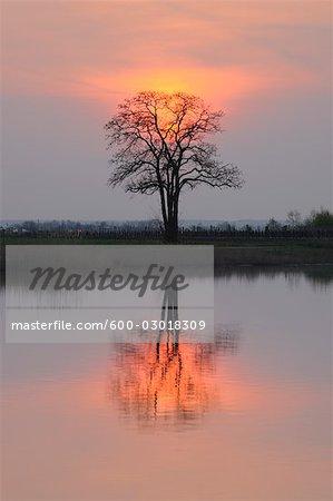 Reflet de l'arbre dans le lac de Neusiedl au coucher du soleil, Burgenland, Autriche