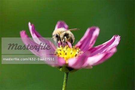 Bee gathering pollen on purple cosmos flower