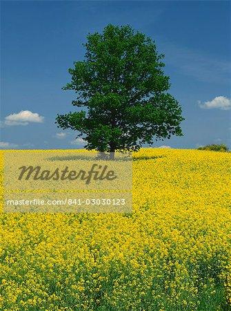 Seul arbre dans un champ de colza en fleurs près de Pontivy en Bretagne, France, Europe