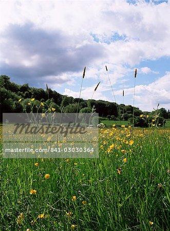Champ renoncule et Selbourne Hanger, Selbourne, Alton, Hampshire, Angleterre, Royaume-Uni, Europe