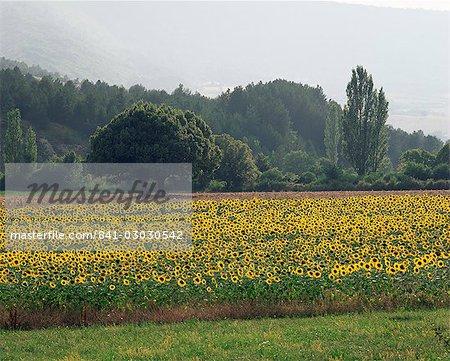 Champ de tournesols près de Ferrassieres, Drome, Rhone Alpes, France, Europe