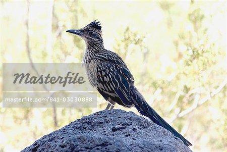 Par roadrunner (Geococcyx californianus), Californie, États-Unis d'Amérique, l'Amérique du Nord