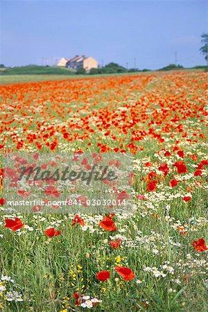 Communes pavots (Papaver rhoeas) dans le champ, Northumbria, Angleterre, Royaume-Uni, Europe