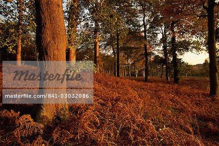 Herbstfarben, Clumber Park, Nottinghamshire, England, Vereinigtes Königreich, Europa