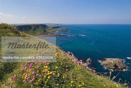 Thrift mer rose sur falaise haut, North Antrim coast path à la chaussée des géants, comté d'Antrim, Ulster, Irlande du Nord, Royaume-Uni, Europe