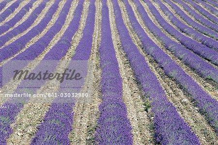 Champ de lavande, Sault, Vaucluse, Provence, France, Europe