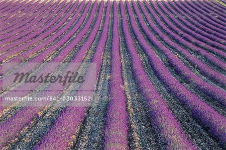 Champs de lavande, Sauli, Vaucluse, Provence, France, Europe