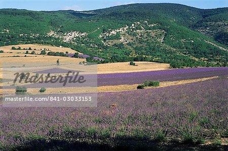 Champs de lavande, Sault, Vaucluse, Provence, France, Europe