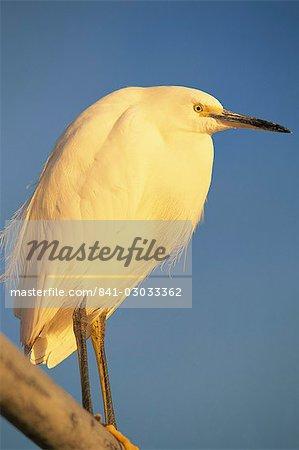 Gros plan d'une aigrette neigeuse oiseau, Santa Barbara, Californie, États-Unis d'Amérique, l'Amérique du Nord