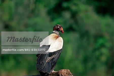 King vulture, an Amazonian bird, Parque Nacional Madidi, Bolivia, South America