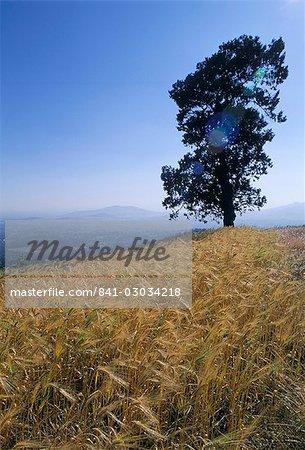 Barley field on the slopes of Entoto,Shoa province,Ethiopia,Africa