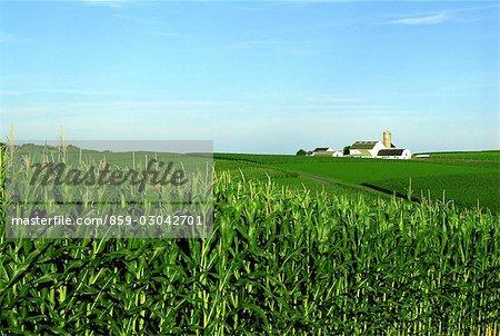 La ferme et le champ de maïs
