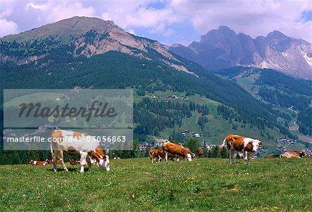 Kühe auf Monte Pana und Leodle Geisler Geisler im Hintergrund, Val Gardena, Dolomiten, Südtirol, Italien, Europa