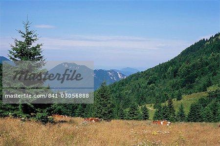 Vaches au col de Medziholie, de 1185m et de pics au-dessus de Vrátna Dolina (vallée), Mala Fatra montagnes, Slovaquie, Europe