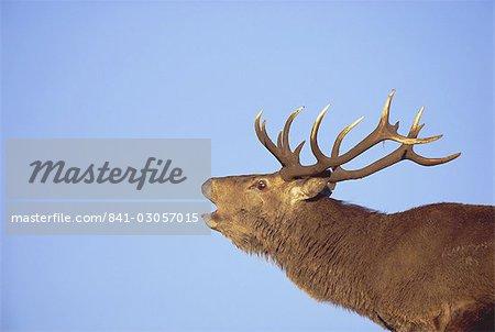 Cerf élaphe mâle, Highlands, Ecosse, Royaume-Uni, Europe