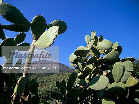 Cactus, île de Stromboli, Iles Eolie (Iles Eoliennes), l'UNESCO World Heritage Site (Italie), Méditerranée, Europe