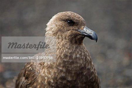 South Polar skua (Stercorarius maccormicki), téléphone Bay, île de la déception, Shetland du Sud îles, l'Antarctique, les régions polaires