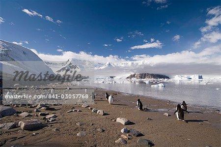 Gentoo pingouins, Neko Harbor, détroit de Gerlache, péninsule de l'Antarctique, l'Antarctique, les régions polaires