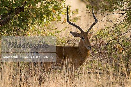 Impala, Parc National de Meru, Kenya, Afrique de l'est, Afrique