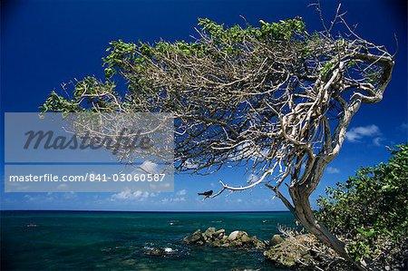 Divi divi arbres, Cudarebe Point, Aruba, Antilles, Antilles néerlandaises, l'Amérique centrale