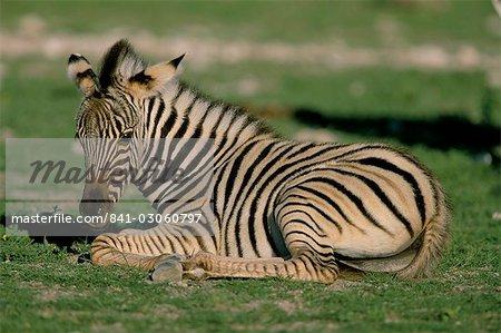 Foal of Burchell's (Plains) zebra (Equus burchelli), Etosha National Park, Namibia, Africa