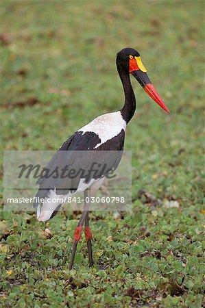 Female saddlebilled stork (Ephippiorhynchus senegalensis), Kruger Park, South Africa, Africa