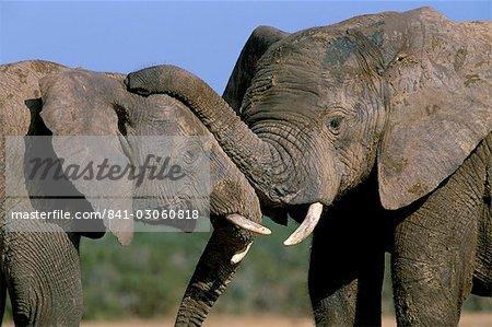 Deux éléphants d'Afrique (Loxodonta africana), plus grand parc National Addo, Afrique du Sud, Afrique
