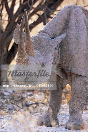 Rhinocéros (Diceros bicornis), noir d'Etosha, Namibie, Afrique