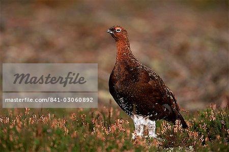 Red grouse (Lagopus lagopus), North Yorkshire, Yorkshire, England, United Kingdom, Europe
