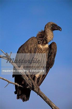 Whitebacked vulture (Gyps africanus), Etosha National Park, Namibia, Africa